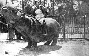 Бегемот , оставшийся в зоопарке Кенигсберга после штурма