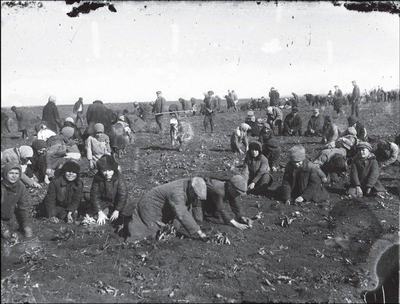 Сбор мерзлой картошки, Донецкая область