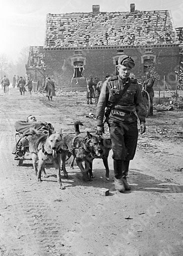 Собачья упряжка везет раненого бойца