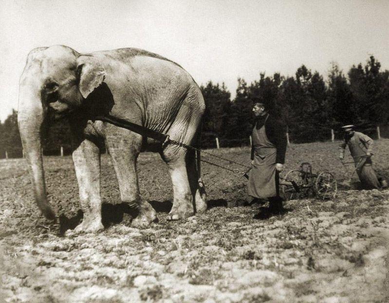 Слон из зоопарка, запряженный в плуг