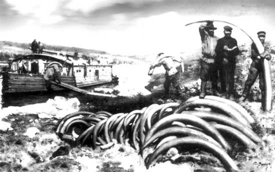 Погрузка бивней мамонта